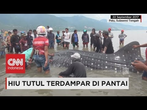 Hiu Tutul Gegerlintang Terdampar di Teluk Palu