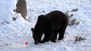 Mysterious wildlife - The story of Bear Watching Transylvania (English subtitle)