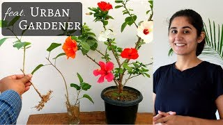 How to Grow Hibiscus Cutting in Water| Complete Instructions // Garden Up thumbnail