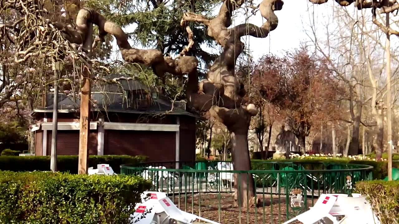 El bello ejemplar de sophora japonica de los jardines de for Jardines de la taconera