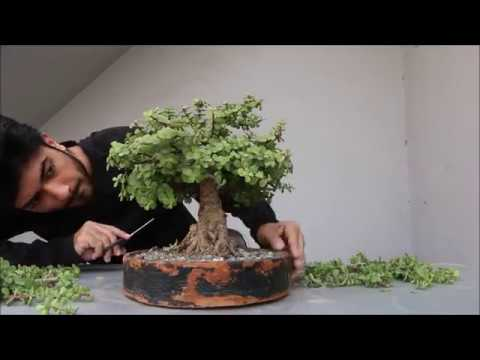 Pruning Jade Bonsai Youtube