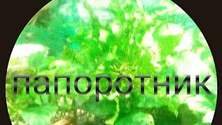 папоротники,виды,особенности содержания в аквариуме
