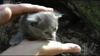 Cute Feral Kittens - first handling by a human - 18 days old
