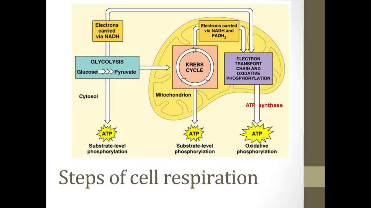 stages of glycolysis and fermentation diagram samsung home theater wiring cellular respiration youtube