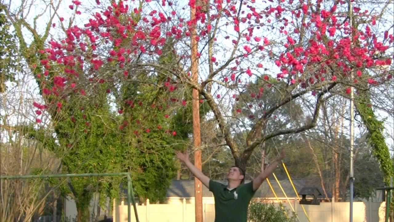 Red Flowering Peach Tree Late Flowering Trees Lasting Color