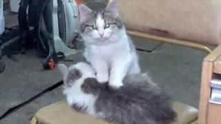 Cat massage. Кототерапия. Кошачий массаж. Кот делает массаж кошке