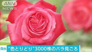 富山県氷見市の「あいやまガーデン」では、バラが見頃を迎えています。...