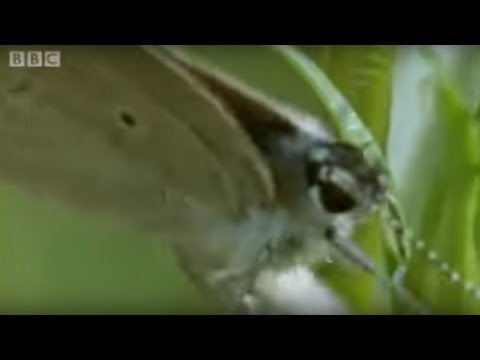 Butterfly Eggs and Caterpillar Survival | Life In The Undergrowth | BBC