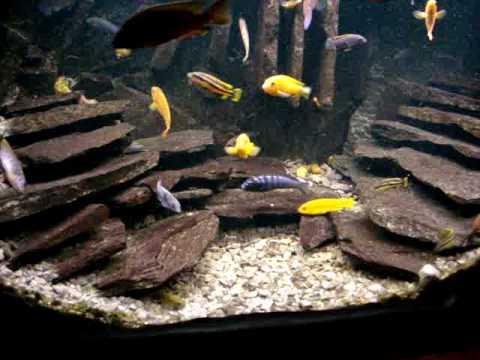 Cichlids Aquarium 200 L Youtube