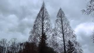 Metasekvoji (Metasequoia glyptostroboides), Rogaška Slatina, Slovenija, 2018