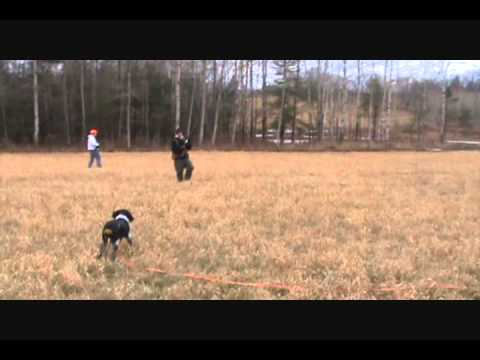 French Brittany Hunting Dog Training - Puppy Stage