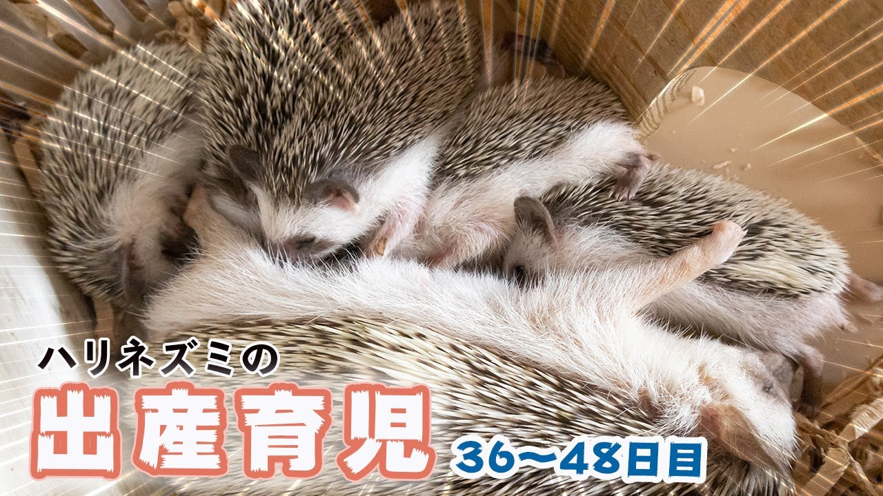 【出産育児】ハリネズミの赤ちゃん36日目から13日間の成長