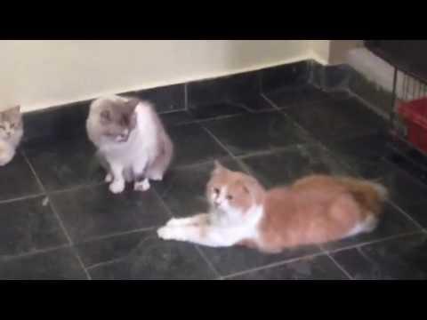 NOEL AND TATA(Manx Cat)