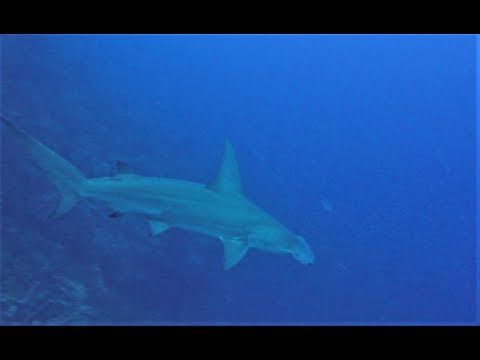 Scuba Diving in Curacao 2016 with a HAMMERHEAD SHARK + the other usual stuff!!