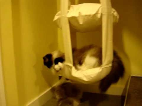 Ragdoll Cats Check Out The Cat's Trapeze ねこ - ラグドール - Floppycats