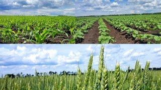По полям с подсолнечником, кукурузой, пшеницей, ячменем. #СельхозТехника ТВ №25