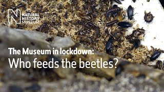 The Museum in Lockdown: Who feeds the beetles | Natural History Museum
