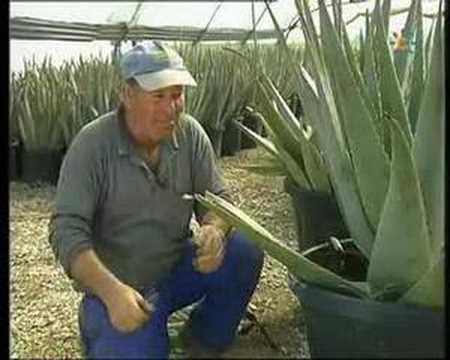 Aloe vera en la UCA (2)