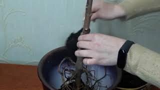 Омоложение фикус/ черенкование фикуса каучуконосного/ как омолодить и размножить фикус Эластику