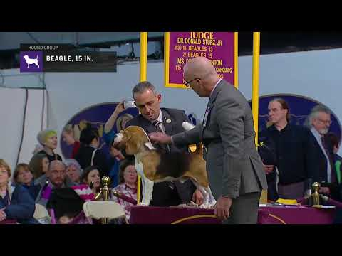 Beagles, Over 13 In. But Not Exceeding 15 In. | Breed Judging 2019