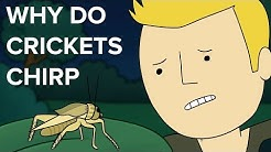 why do crickets chirp?