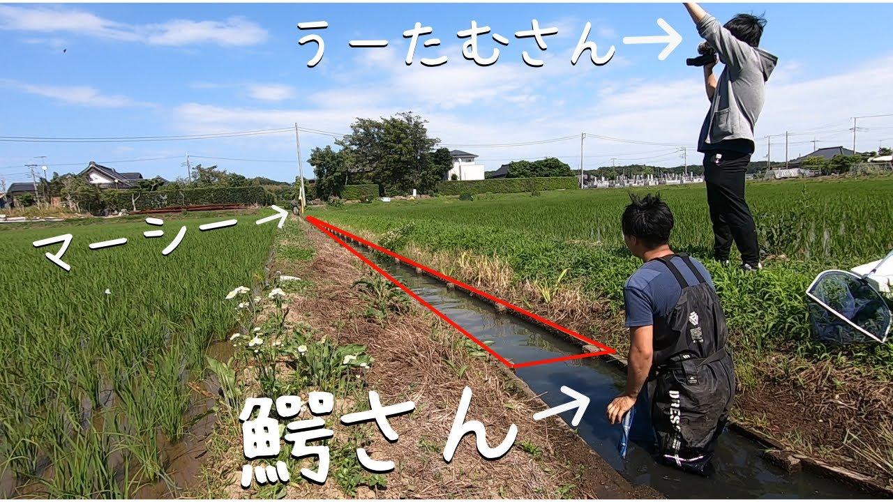 生物採集系Youtuber3人で用水路を完全封鎖!外来種を一網打尽!【鰐さん、うーたむさんコラボ】