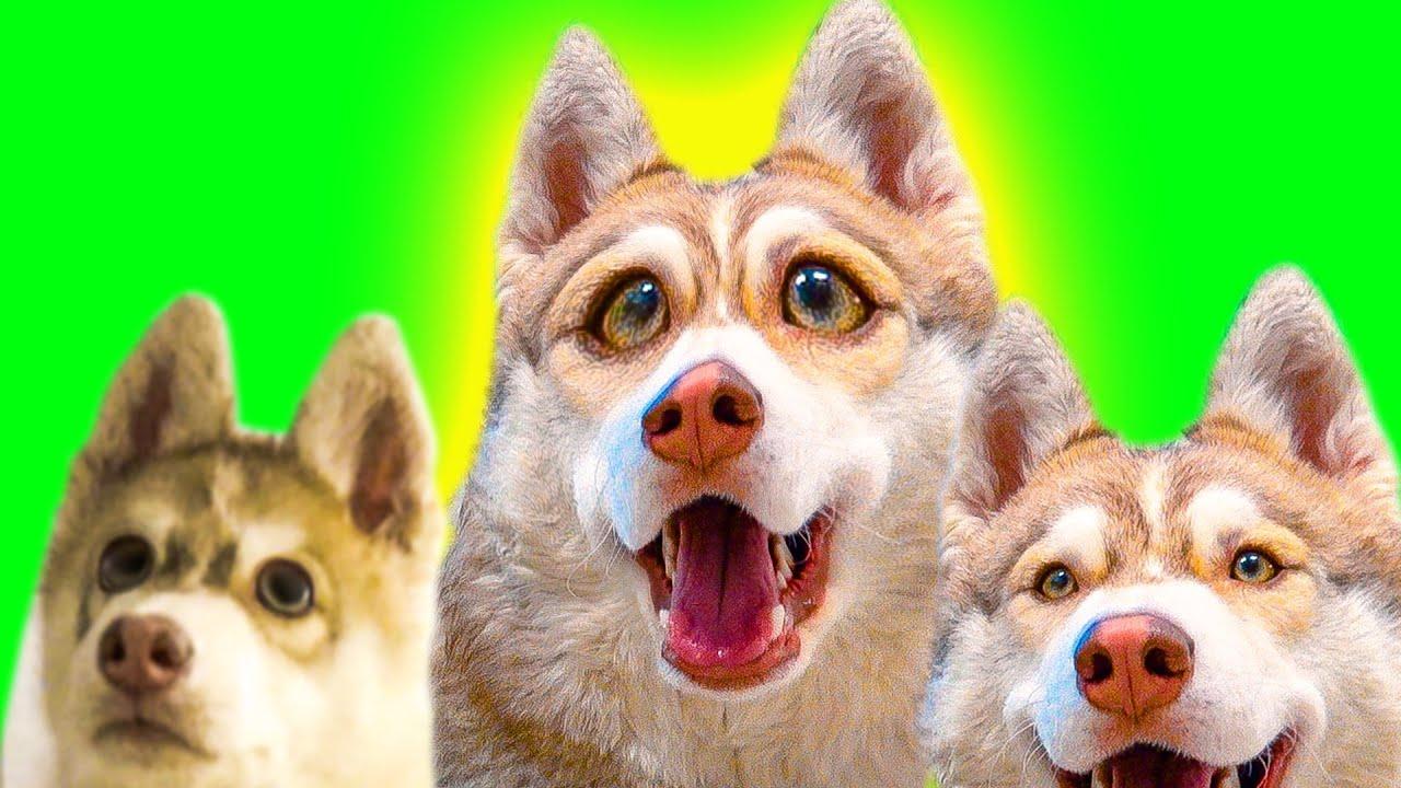 Бублик - Рыжая сопля! Лучшие серии лета! (Хаски Бублик) Говорящая собака