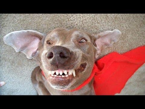 i r cute dreaming dog funny talking Weimaraner Super Britney is sleep barking woof woof