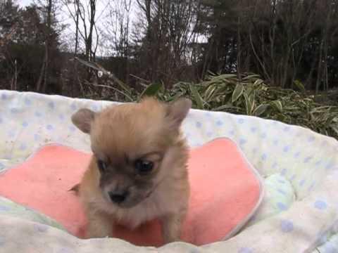 チワワ・ロングコート子犬12/28生れオスchi141228m010lulub18