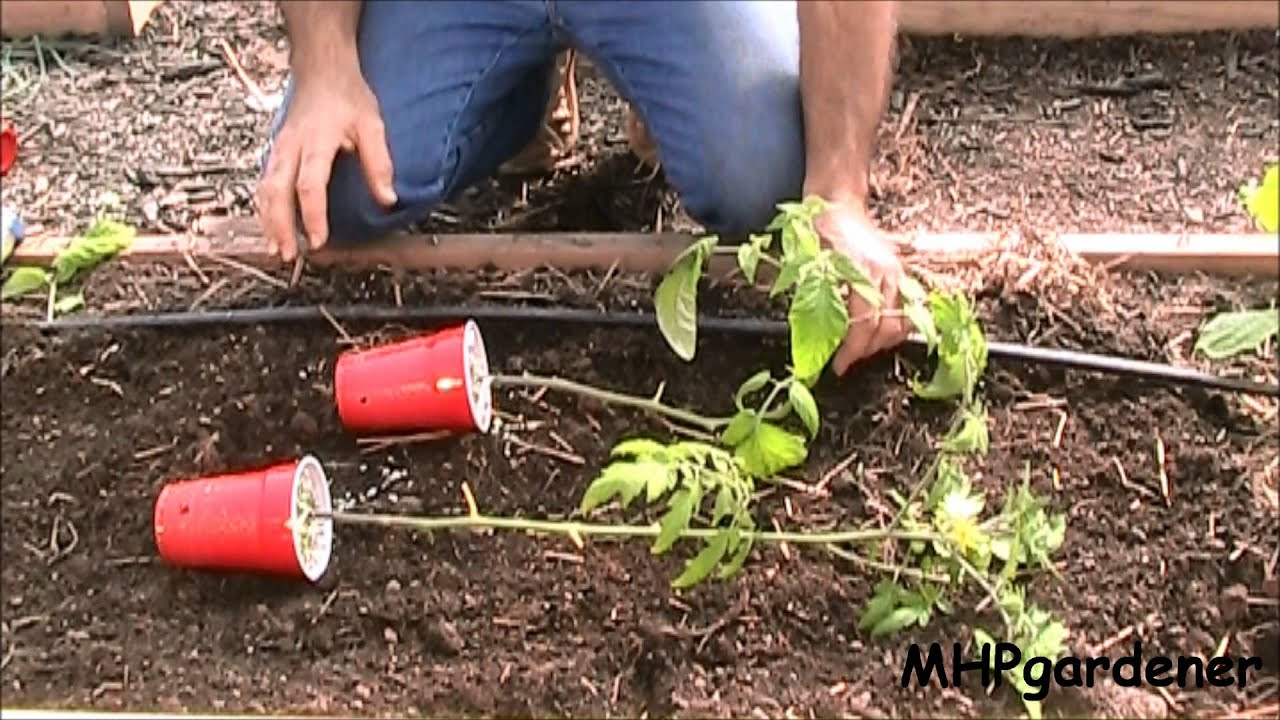 What is the best soil for tomatoes - Planting Tomatoes A Quick Tip