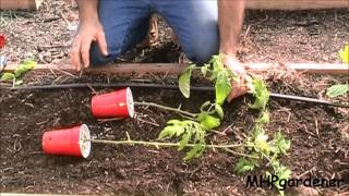 Planting Tomatoes - A Quick Tip