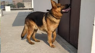 German shepherd,husky, American bully, rottweiler, gaddi, pug puppies for sale