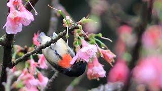 紅胸啄花啄花, Fire-breasted flowerpecker pecking flower, ハナドリ