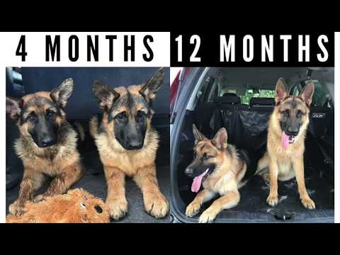 German Shepherd Growing Up (4 - 12 Months)