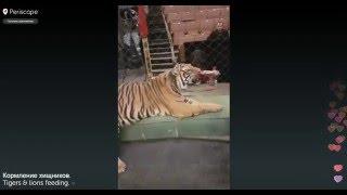 Жесть!!! Нападение тигров у Запашных!!!