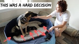 im-sorry-but-this-was-a-hard-decision-to-make-for-my-german-shepherd-guard-dogs