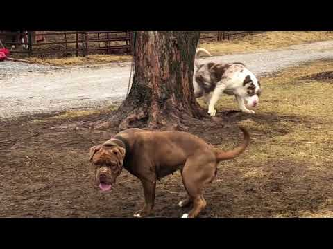North American Mastiff Dogs Getting To Know Each Other