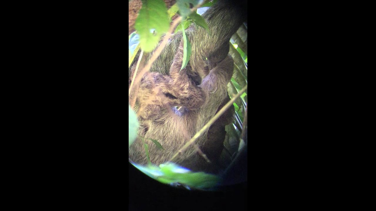 Sloth Mother And Baby Manuel Antonio National Park Youtube