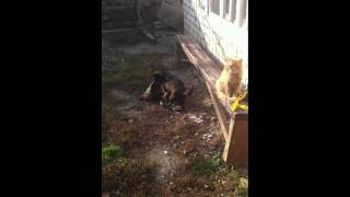 Собака трахает ковер