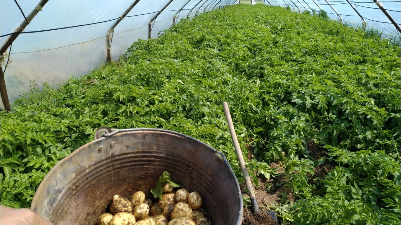 картошка в теплице урожайность