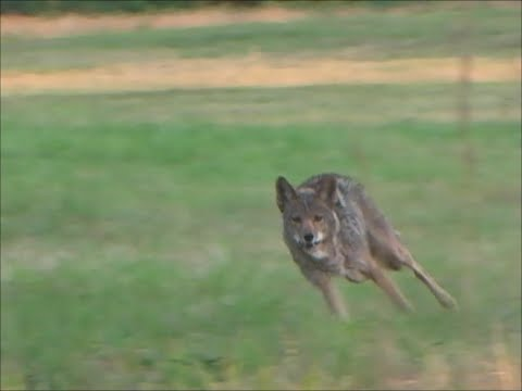 Arkansas mountain coyote working the dogs.