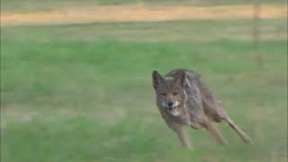 Arkansas mountain coyote working the dogs. thumbnail