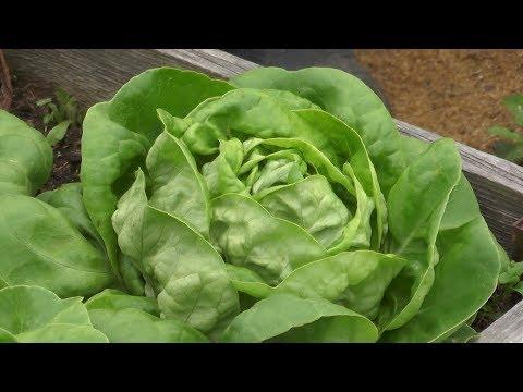 Как вырастить урожайный и полезный кочанный салат