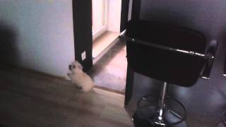 Suzie & Mika - Sweet Westie Puppies Playing