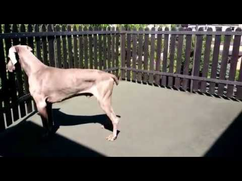 Funny Weimaraner - my dog tries to stand on the hot terrace - fail.