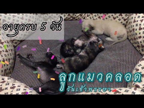 ลูกแมวคลอดวันเข้าพรรษา อายุ 5 วัน