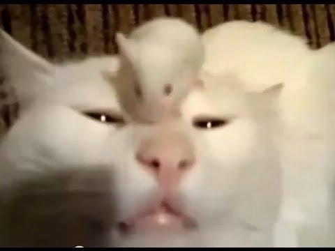 Британские золотые и Шотландские вислоухие кошки - О