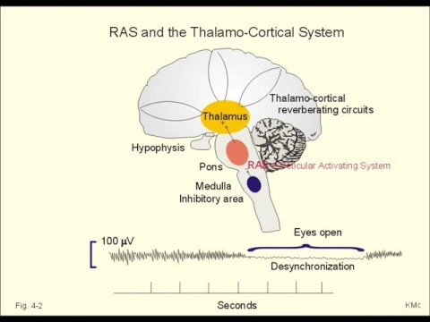 Reticular Activating System Youtube