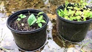 Easiest Mulberry Propagation Ever!