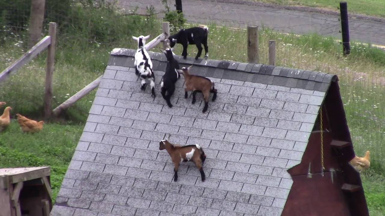 Dozens of baby goats - kids - jumping, yelling and playing ... |Baby Goats Playing Youtube